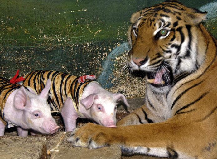 Tiger adoptiert Schweine-Babys