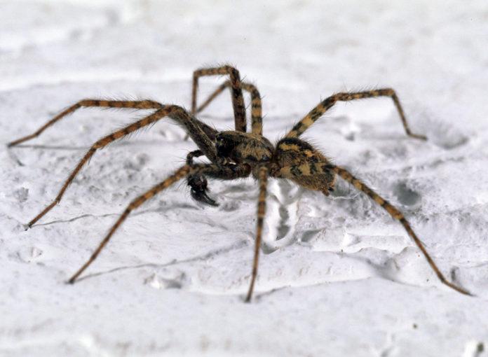 Die Hauswinkelspinne ist eine bissige Spinne