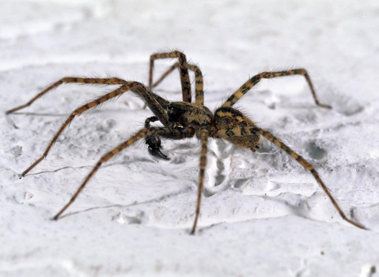 spinnen plage immer mehr hauswinkelspinnen in deutschen wohnungen starzip. Black Bedroom Furniture Sets. Home Design Ideas