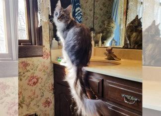 Katze mit dem laengsten Schwanz der Welt