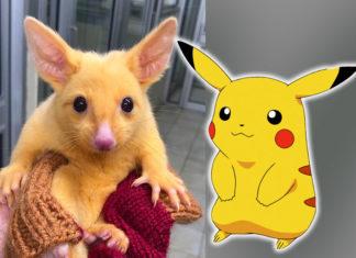 Das goldene Opossum sieht aus wie Pokemon Pikachu